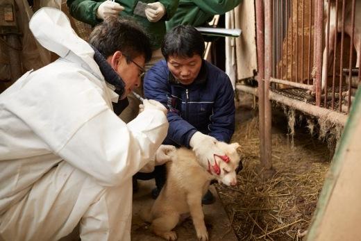 Ông Lee cùng giúp các nhân viên y tế tiêm ngừa cho các chú chó