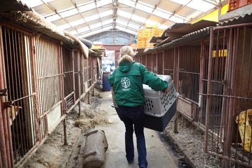 Các nhân viên giải cứu các chú chó từ trong cũi sắt.