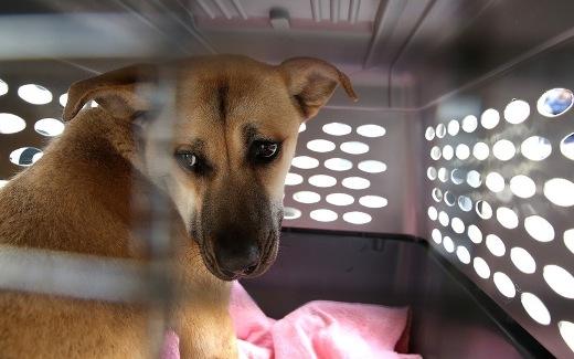 Chú chó này đang hồi hộp, chuẩn bị bay đến San Francisco, nơi một gia đình mới đang chờ đợi mình