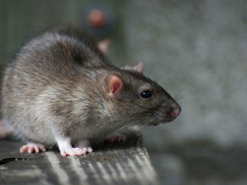 """Giả vờ thả chuột để """"ăn quỵt"""" 230 ngàn đồng"""