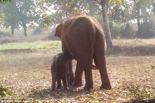 Xúc động cảnh voi mẹ vật lộn cứu con trong suốt 11 giờ