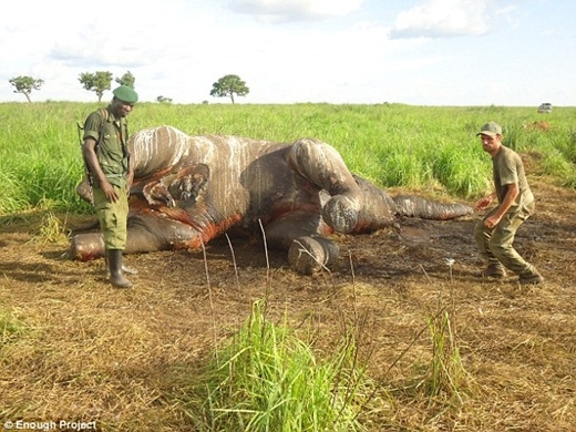 Nhân viên công viên quốc gia Garamba đang kiểm tra xác của một chú voi bị giết chết để lấy ngà.