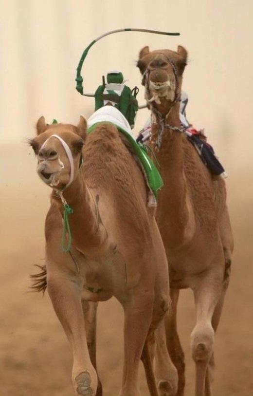 Những con lạc đà được điều khiển bằng những rô bốt tí hon.