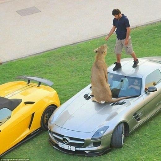 Một dân chơi Dubai đang cho sư tử ăn ngay trên mui xe của mình.