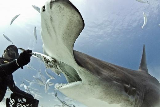 Cá mập đầu búa là loại cực kì hung hãn.