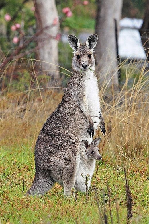 Do thời tiết nóng bức khắt nghiệt ở những vùng sa mạc của nước Úc, Kangaroo thường liếm cặp chân trước của mình để tự làm mát cơ thể.