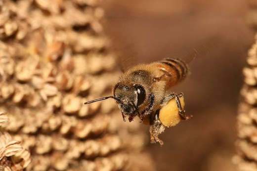 Sau khi giao cấu, bộ phận sinh dục của ong đực sẽ phát nổ và làm chúng mất mạng.