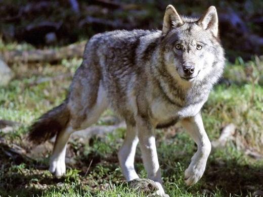 Kích cỡ của một chú sói chỉ tương tự với loài chó, nhưng chúng có thể dễ dàng đốn hạ loài động vật có kích thước lớn gấp đôi mình như một con tuần lộc.
