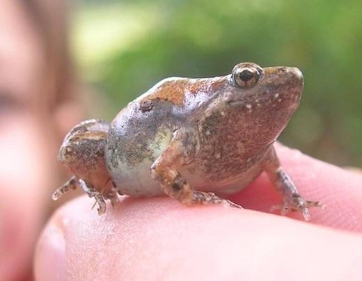 Những chú ếch miệng nhỏ thường sống trong… phân của loài voi.