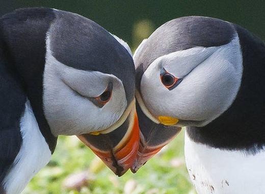 Sau khi giao phối, 2 chú chim biển sẽ cùng nhau xây nhà và chúng còn xây hẳn… cả nhà vệ sinh trong tổ ấm của mình.