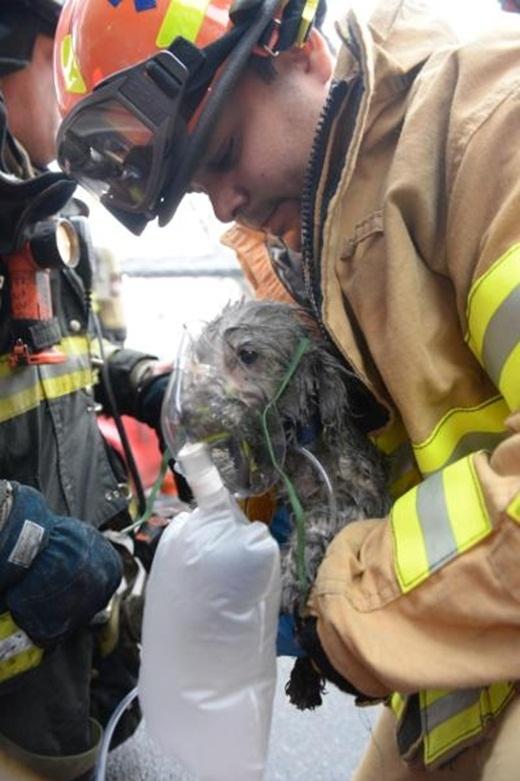 Chú chó được thở oxy ngay khi vừa được cứu ra khỏi đám cháy.