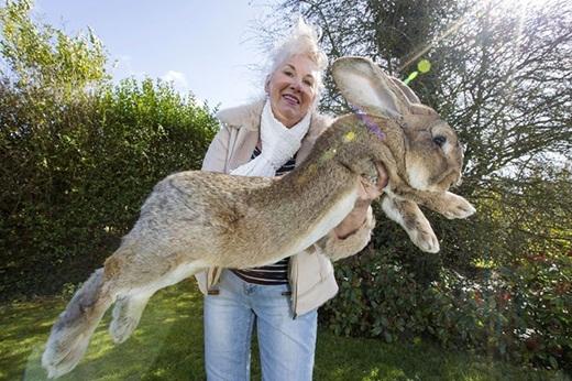 Choáng với chú thỏ khổng lồ nhất thế giới