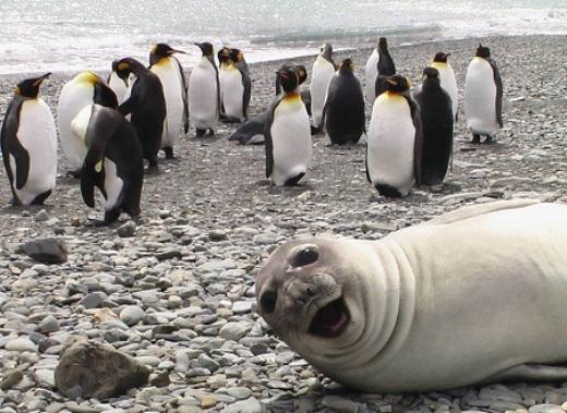 Chú hải cẩu đang hí hửng selfie khi tham quan nhà của đàn cánh cụt.