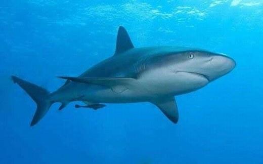 """Cá mập có thói quen """"ngược đời"""" so với các loài vật khác. Nếu có bão lớn xảy ra, thay vì chạy trốn thì cá mập tụ tập lại với nhau, đặc biệt ở những nơi biển động mạnh nhất. Các nhà khoa học Mỹ từng tiến hành gắn thẻ lên cá mập, theo dõi và thấy được điều này."""