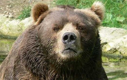Gấu xám Bắc Mỹ có thể phát hiện ra bão lũ cách xa chúng hàng chục km nhờ khứu giác cực tốt. Bên cạnh đó, chúng còn phát hiện ung thư cho con người. Tuy nhiên, sự hung dữ của nó khiến các nhà khoa học chưa muốn nghiên cứu sâu.