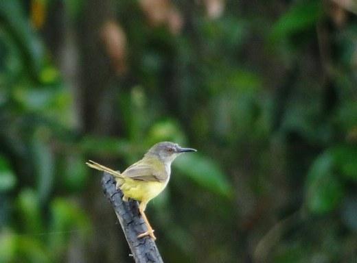 Chim chích vàng có thể phát hiện ra thời tiết xấu như mưa bão, lũ… 24 giờ trước khi sự việc diễn ra.
