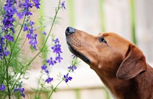 Loài chó cũng dự đoán động đất cực tốt, theo nghiên cứu từ các nhà khoa học Nhật Bản. Họ đã tiến hành xem xét và nhận thấy rằng trước khi động đất xảy ra vài tuần, chó thường có biểu hiện bất thường như sủa dữ dội, cắn bừa bãi…