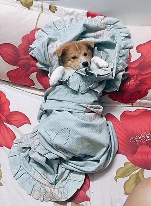 Trung Quân Idolvừa đăng tải hình ảnh chú cún cưng của mình với bộ dạng cực hài hước: Sáng ngủ dậy thấy bả như vậy. Lăn sao mà dữ vậy con ơi. Mình bị cướp luôn cái mền rồi.