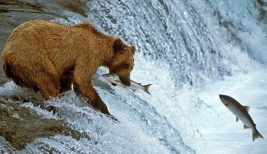 """Chiếc miệng và đôi mắt nhanh như chớp giúp chú gấu này có những """"bữa tiệc no nê"""" bên dòng suối."""
