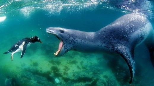 Một con mồi đáng thương của sư tử biển.