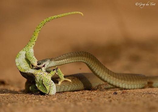 Một con tắc kè đã thành mồi ngon của rắn chỉ trong tích tắc.