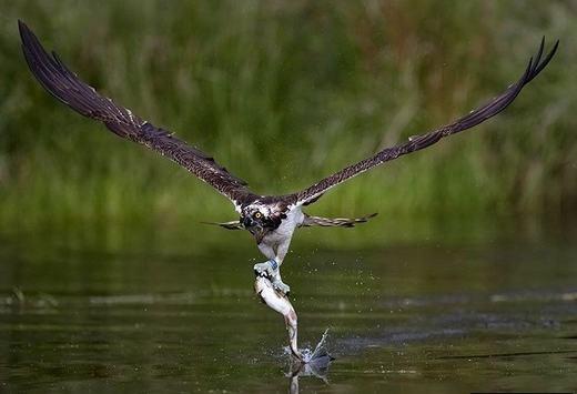 """Bộ móng vuốt của chim ưng cũng đã khiến một chú cá """"ôm hận""""."""