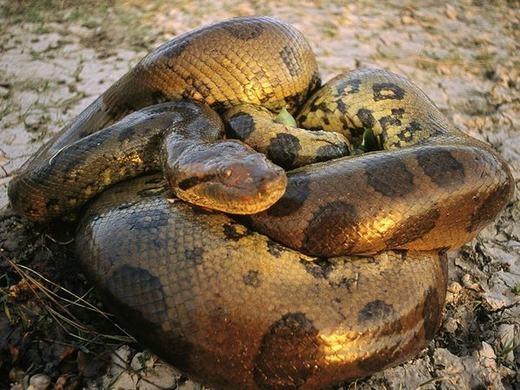 Ở khu này có tồn tại một quái vật đáng sợ, đó là trăn Anaconda - một loài trăn khổng lồ thường sống ở lưu vực sông Amazon.