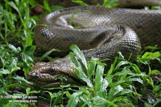 """""""Chết khiếp"""" với quái vật Amazon - trăn khổng lồ Anaconda"""