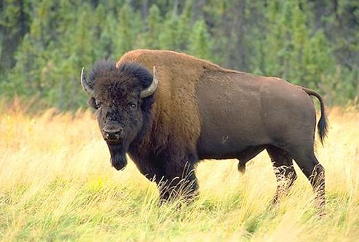 Một con bò rừng