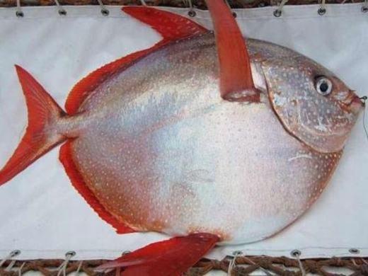 """Lần đầu tiên khoa học phát hiện ra cá """"máu nóng"""""""