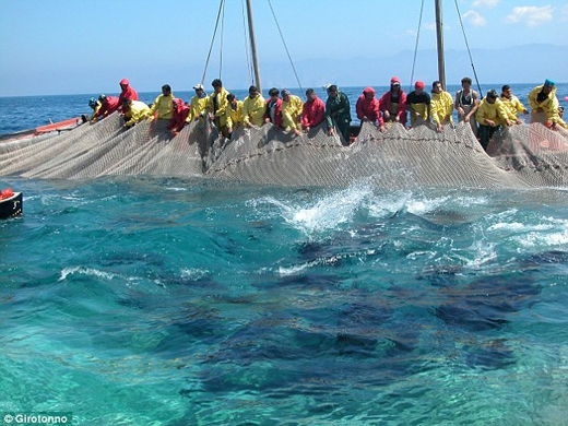 Tham gia vào nghi lễ này là các ngư dân khỏe mạnh của đảo. Họ sử dụng những chiếc lưới dày và dàn hàng quây cá ngừ vào giữa.
