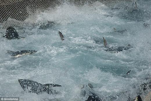 Đám đông ra sức hò hét khi hàng trăm con cá ngừ vùng vẫy khi bị mắc vào lưới.