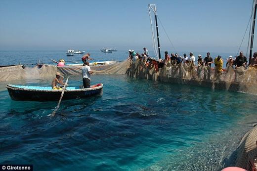 Những chú cá ngừ còn tươi sống bị giết chết trước khi bán ngay tại chỗ hoặc đóng hộp.