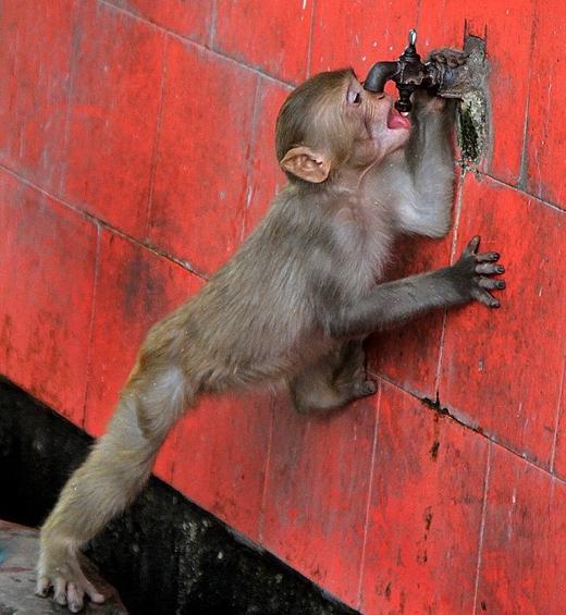 Nắng nóng cũng khiến cây cối bị thiêu trụi, động vật chết khát hàng loạt. Trong ảnh, một chú khỉ tự tìm đến vòi nước để uống nước nhằm làm mát cơ thể