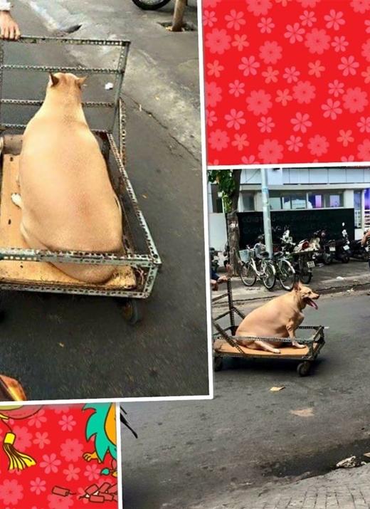 Bức ảnh chú cún quá khổđược chủ kéo trên xe đẩy đã gây được sự chú ý của đông đảo cư dân mạng ngày qua. Nhiều người bình luận rằng nếu che đầu chú chó đi có lẽ sẽ nhiều người lầm tưởng đây là con heo chứ không phải là cún nữa.