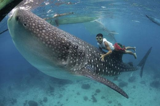 Chiêm ngưỡng loài cá mập hiền nhất thế giới