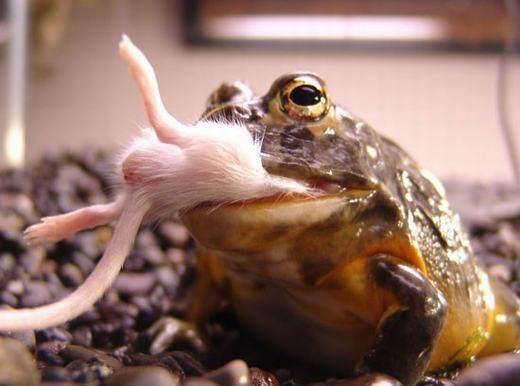 Cũng như các loài ếch khác, ếch yêu tinh sống ở vùng đất ẩm ướt, đầm lầy…. Các nhà khoa học ghi nhận, ếch yêu tính có mặt ở Malawi, Zambia, Nigieria, Somalia,Mozambique, Angola, Nam Phi…
