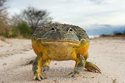 Ếch yêu tinh sơ sinh có màu da vàng ở bụng, phía trên có màu xanh lá. Lớn lên, da chúng có màu xanh xám.