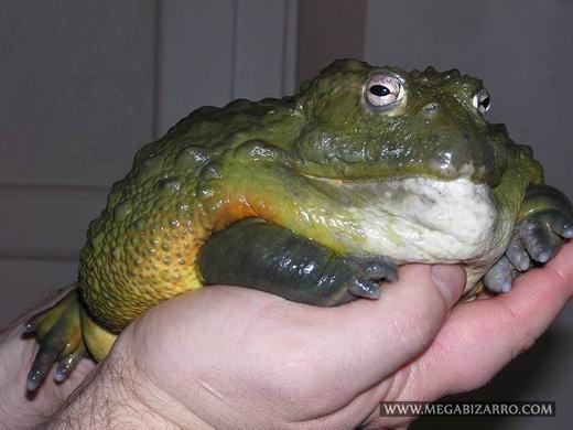 Ếch yêu tinh còn có tên gọi khác nữa là Bullfrog, sở hữu kích thước cực lớn, lớn nhất trong các loài ếch tồn tại trên Trái đất hiện nay.