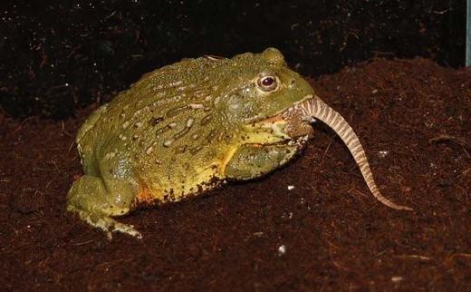 Cận cảnh loài ếch nuốt chửng chuột trong giây lát