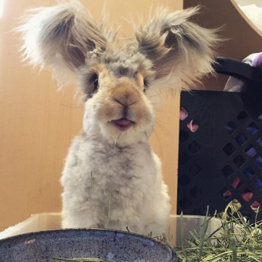 Ngộ nghĩnh chú thỏ có tai bự như đôi cánh cực dễ thương