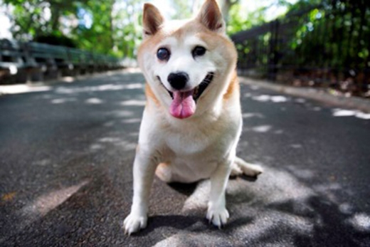 Do mắc hội chứng Cushing nênCinnamonđôi lúc đi đứng không được bình thường như những chú chó khác