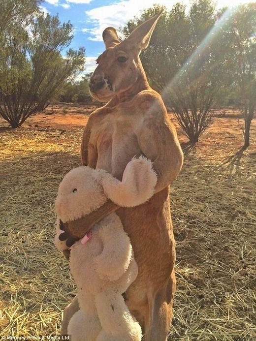 """""""Hot boy"""" kangaroo gây """"choáng"""" với thể hình lực lưỡng"""