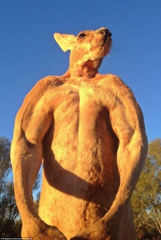 Theo dự đoán, Roger sẽ tiếp tục phát triển hình thể thêm nữa bởi thông thường, kangaroo có tuổi thọ lên đến 15 năm.