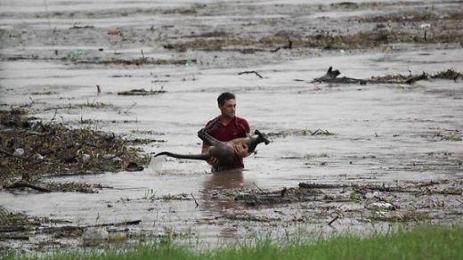 Một người đàn ông đã liều mình để cứu lấy mạng sống của một chú chuột túi con bị cuốn theo dòng nước lũ.
