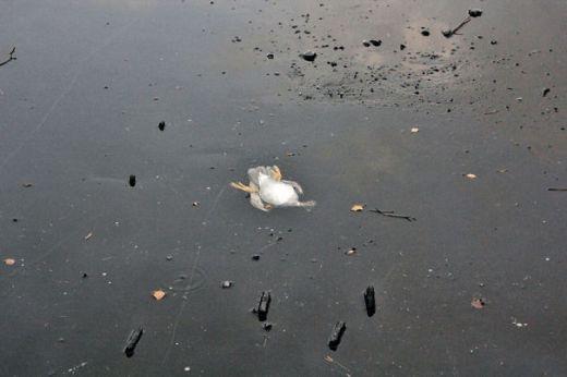 Chú vịt này không may bị mắc kẹt trong hồ nước đóng băng và đang chìm dần...