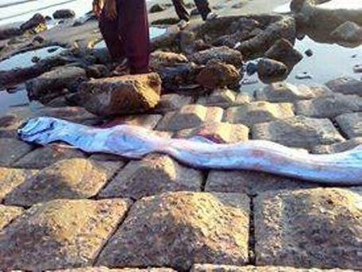 """Lại có cá thiêng """"khủng"""" dạt vào bờ biển Hà Tĩnh"""