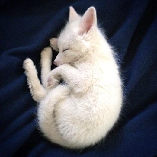 Loạn tim với chú cáo nhỏ đáng yêu nhất thế giới mạng