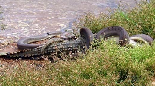 """Sau khi nuốt trọn con mồi, trăn Anaconda sẽ """"quy ẩn giang hồ"""" vài tháng, thậm chí là vài năm. Đợi khi con mồi tiêu hóa hết, nó lại tiếp tục quá trình săn mồi đó của mình."""