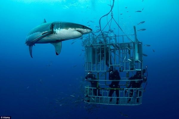 Một trong những nơi tổ chức loại hình giải trí mạo hiểm này gần đây nhất là đảo Guadalupe, cách bờ biển Baja 150 dặm ngoài khơi.